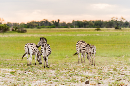Zebras flock in the Moremi Game Reserve (Okavango River Delta), National Park, Botswana Stock Photo