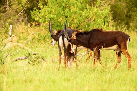 Antelope walks on the grass in the Moremi Game Reserve (Okavango River Delta), National Park, Botswana