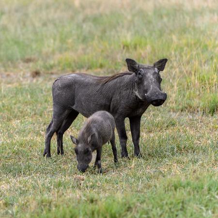 Wild boarswith little babies in the Moremi Game Reserve (Okavango River Delta), National Park, Botswana
