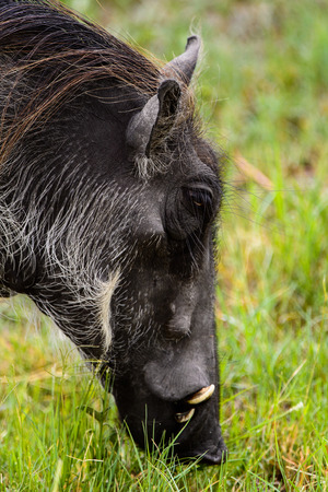 Close view of a Wild boar in the Moremi Game Reserve (Okavango River Delta), National Park, Botswana