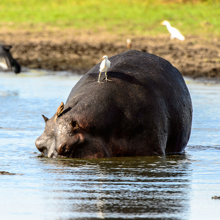 Hippopotamus in the lake with birds on his back, in the Moremi Game Reserve (Okavango River Delta), National Park, Botswana