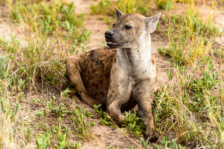CLose view of a hyena in the grass in the Moremi Game Reserve (Okavango River Delta), National Park, Botswana