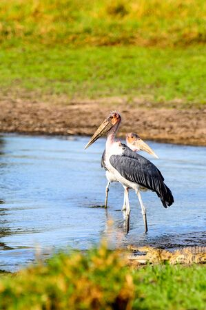 Marabou Stork at the Moremi Game Reserve (Okavango River Delta), National Park, Botswana