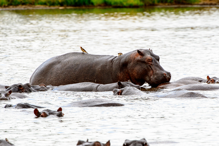 Hippopotamus, en la reserva del juego de Moremi (delta del río de Okavango), parque nacional, Botswana Foto de archivo - 84757698