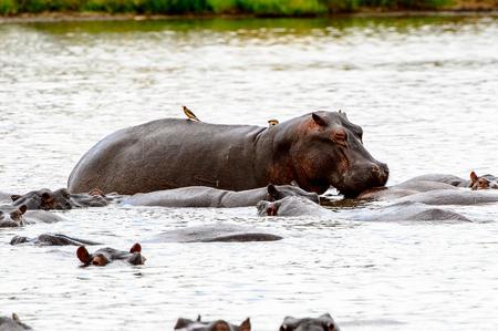 Hippopotamus, in the Moremi Game Reserve (Okavango River Delta), National Park, Botswana
