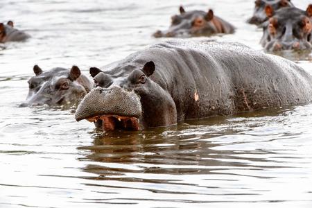 Scary Hippopotamus in the water, in the Moremi Game Reserve (Okavango River Delta), National Park, Botswana Reklamní fotografie