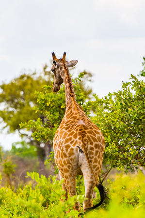 zimbabwe: Giraffe in the Moremi Game Reserve (Okavango River Delta), National Park, Botswana