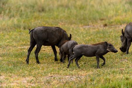 Wild boars flock in the Moremi Game Reserve (Okavango River Delta), National Park, Botswana Stock Photo