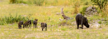 Wild boar in the Moremi Game Reserve (Okavango River Delta), National Park, Botswana Stock Photo