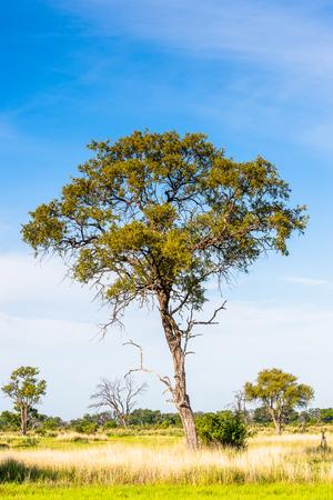 Tree at the Okavango Delta (Okavango Grassland), One of the  Seven Natural Wonders of Africa, Botswana