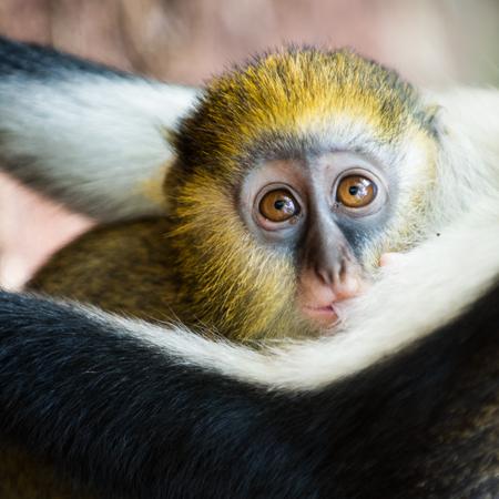 Cercopithecus mona, Ghanaian monkeys little baby cub Stock Photo