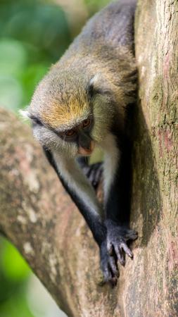 Cute Ghanaian Monkey (Cercopithecus mona) on a tree
