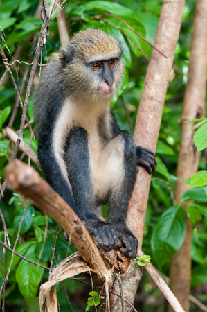 Monkey (Cercopithecus mona) on the tree in Ghana Stock Photo