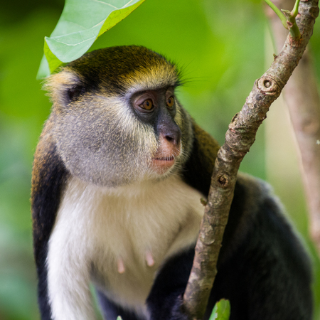 Cute Ghanaian Monkey (Cercopithecus mona) on a tree