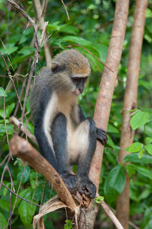 Monkey (Cercopithecus mona) on the tree in Ghana Stock Photo