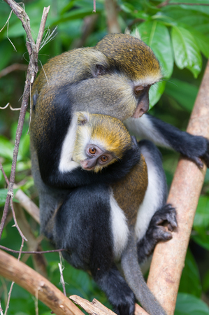 Monkey (Cercopithecus mona) and a baby in Ghana Stock Photo
