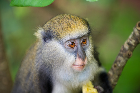 Little Monkey (Cercopithecus mona) eats a babana in Ghana
