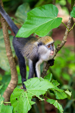 Little cute Monkey (Cercopithecus mona) on a tree in Ghana Stock Photo