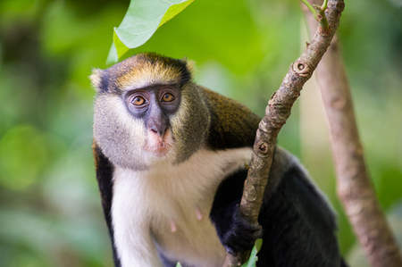 Cute Ghanaian Monkey (Cercopithecus mona) close up on a tree