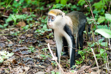 Cercopithecus mona, Ghanaian monkey jumps on the ground