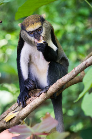 Cute Monkey (Cercopithecus mona) on a tree in Ghana Stock Photo
