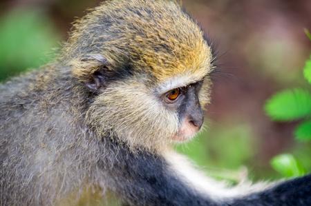 Monkey  portrait (Cercopithecus mona) in Ghana Stock Photo
