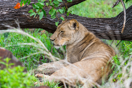 zimbabwe: Close view of a lioness in Zimbabwe, Africa