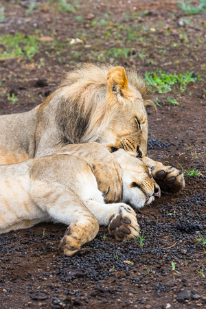 Lion kisses his wife lioness on the ground in Zimbabwe, Africa Stock Photo