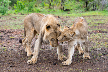 Lion and lioness play together in Zimbabwe, Africa