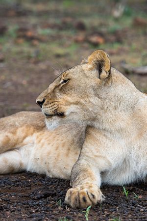 Portrait of a lioness in Zimbabwe, Africa
