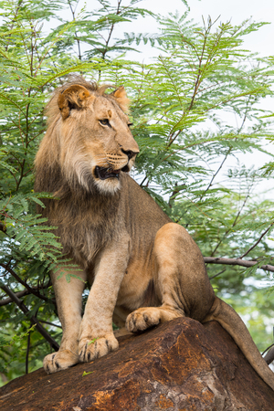 Portrait of a lion in Zimbabwe, Africa Stock Photo