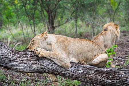 zimbabwe: Leona en el árbol en Zimbabwe, África