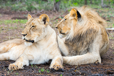 Lion and lioness on the ground in Zimbabwe, Africa Stock Photo