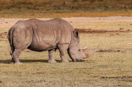 nakuru: White rhinoceros in Kenya, Africa