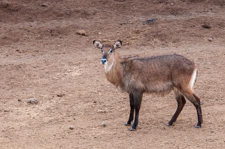 nakuru: Small antelope in Kenya Stock Photo