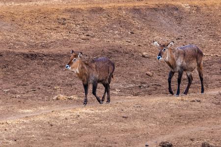 nakuru: Couple of deers walk over the desert in Kenya