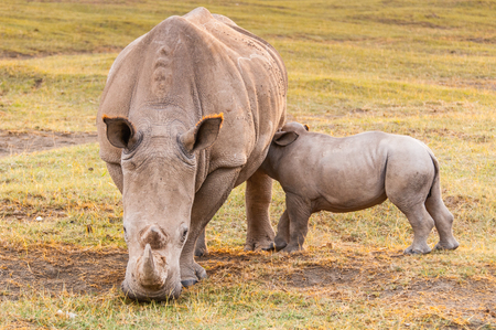 nakuru: Little baby of white rhinoceros and his mother in Kenya, Africa Stock Photo