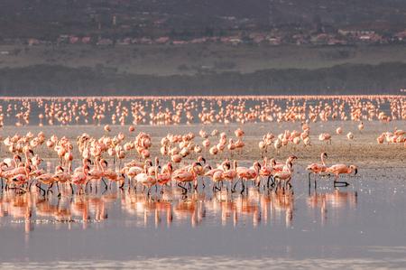 nakuru: Flamingo Stock Photo