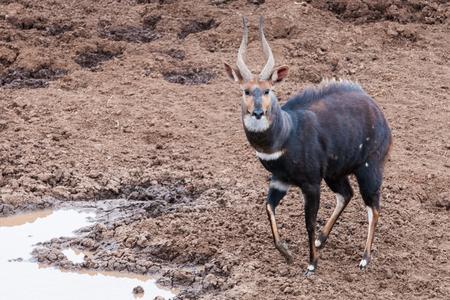 nakuru: Kenyan antelope portrait Stock Photo