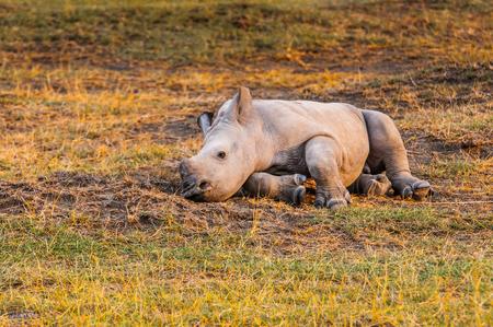 nakuru: Little baby of rhinoceros in Kenya, Africa Stock Photo