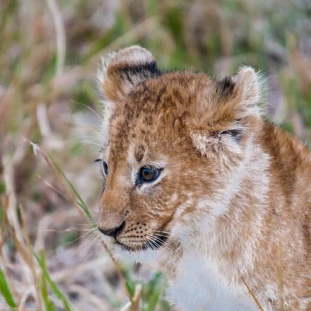 Portrait of a beautiful little baby lion Stock Photo