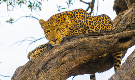 African leopard lays on the tree and tries to sleep