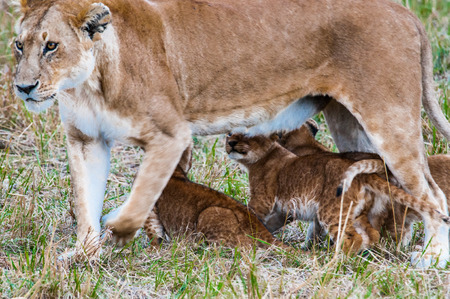 Little lion cubs try to reach for the mothers milk