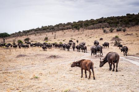 Group of buffalos in Kenya, Africa