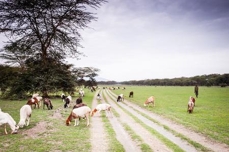 nakuru: Goats in Kenya, Africa