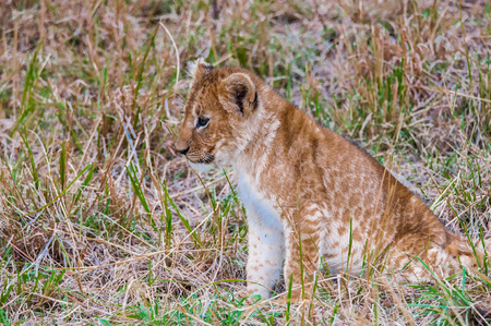 Close up of a little baby lion sitting on the grass