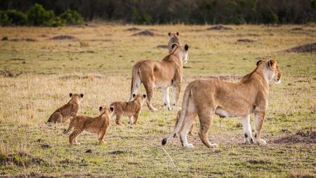 Lionne et ses petits lionnes au Kenya Banque d'images