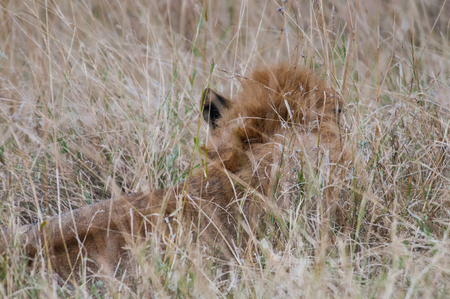 Lion hides in the high grass