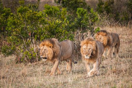 アフリカのケニアで歩いてライオンズ
