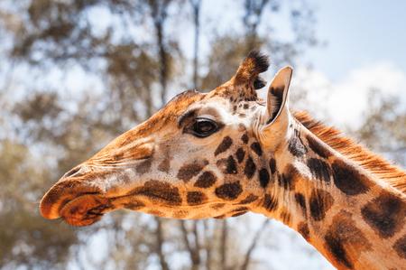 Giraffe in Kenya, Africa Stock Photo